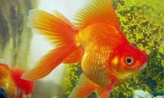 Акваріумні рибки: золота рибка (carassius auratus) - правила побутового і медичного обслуговування