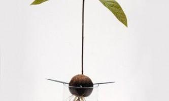 Авокадо: як виростити його будинку?