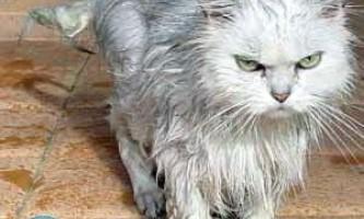 Чим помити кота, якщо немає спеціального шампуню?