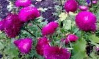 Як і коли садити айстри?