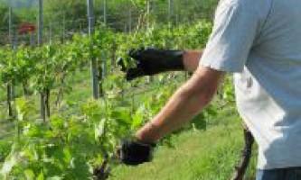 Як і в будь-яку пору року варто обрізати виноград