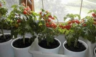 Як правильно виростити розсаду в домашніх умовах на підвіконні?