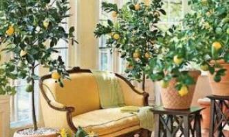 Як виростити домашній лимон з держака в квартирі?