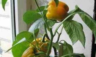 Як виростити перець солодкий болгарський?