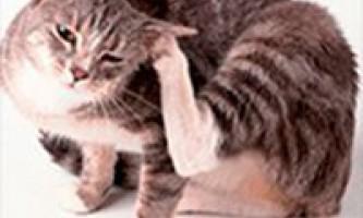 Як вивести бліх у кішки в домашніх умовах: найкращі засоби