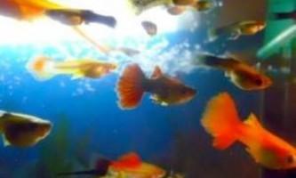 Яких рибок краще купити для акваріума?