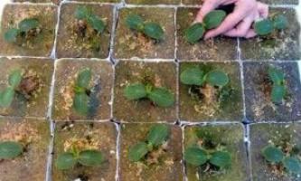 Коли садити і як висаджувати розсаду у відкритий грунт?