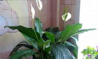 Кімнатні квіти щастя