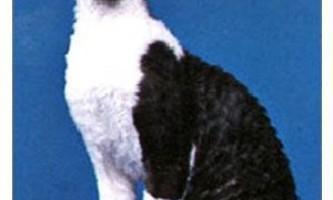 Кішки: німецький рекс - особливості породи і правила догляду
