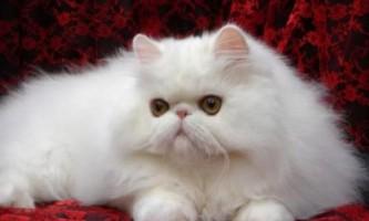 Кішки: перська кішка - особливості породи і правила догляду