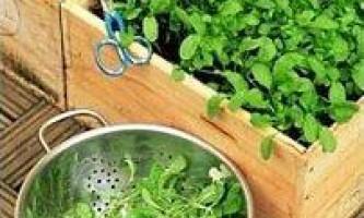 Кресс-салат: вирощування з насіння на підвіконні