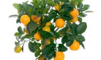 Вирощуємо апельсинове дерево з кісточки