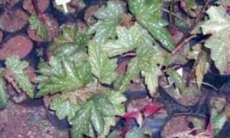 Вирощування бегонії вечноцветущей насінням
