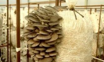 Вирощування гриба глива в домашніх умовах