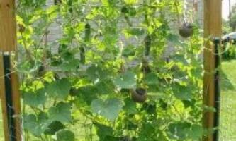 Вирощування огірків у відкритому грунті на шпалері