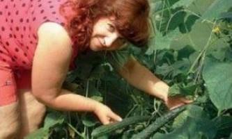 Вирощування огірків в теплиці на дачі