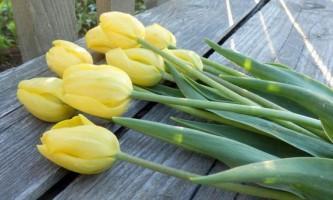 Жовтий колір тюльпанів: значення